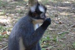 Πίθηκος φύλλων του Thomas Στοκ Εικόνες