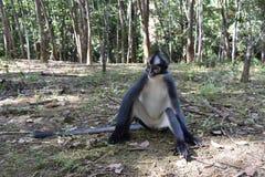 Πίθηκος φύλλων του Thomas Στοκ φωτογραφία με δικαίωμα ελεύθερης χρήσης
