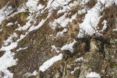 Πίθηκος χιονιού έξω σε ένα άκρο στοκ φωτογραφία με δικαίωμα ελεύθερης χρήσης