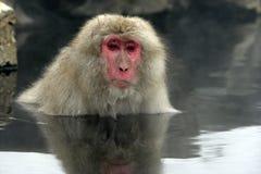 Πίθηκος χιονιού ή ιαπωνικό macaque, fuscata Macaca Στοκ εικόνα με δικαίωμα ελεύθερης χρήσης