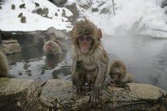 Πίθηκος χιονιού ή ιαπωνικό macaque, fuscata Macaca Στοκ εικόνες με δικαίωμα ελεύθερης χρήσης