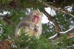 Πίθηκος χιονιού που κοιτάζει κάτω από το δέντρο Στοκ εικόνα με δικαίωμα ελεύθερης χρήσης