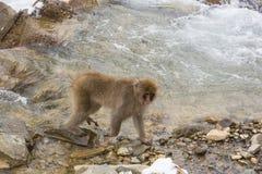Πίθηκος χιονιού που περπατά από τα ορμητικά σημεία ποταμού ποταμών στοκ εικόνα με δικαίωμα ελεύθερης χρήσης