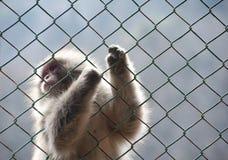Πίθηκος χιονιού που πιάνει έναν φράκτη πλέγματος καλωδίων Στοκ Φωτογραφία