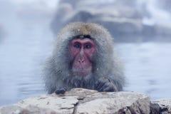 Πίθηκος χιονιού Στοκ φωτογραφίες με δικαίωμα ελεύθερης χρήσης