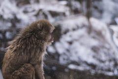 Πίθηκος χιονιού Στοκ εικόνα με δικαίωμα ελεύθερης χρήσης