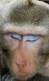 Πίθηκος ύπνου Στοκ φωτογραφίες με δικαίωμα ελεύθερης χρήσης