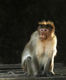 Πίθηκος Στοκ Εικόνες