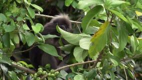 Πίθηκος απόθεμα βίντεο
