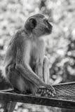 Πίθηκος B&W, Ναμίμπια Στοκ εικόνα με δικαίωμα ελεύθερης χρήσης