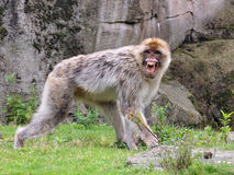 Πίθηκος Berber που παρουσιάζει δόντια Στοκ φωτογραφία με δικαίωμα ελεύθερης χρήσης