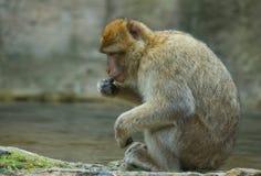 πίθηκος berber που στηρίζεται Στοκ εικόνα με δικαίωμα ελεύθερης χρήσης