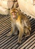 Πίθηκος Berber Στοκ εικόνα με δικαίωμα ελεύθερης χρήσης