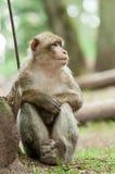 Πίθηκος Berber Στοκ Φωτογραφία
