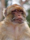 Πίθηκος Berber Στοκ Φωτογραφίες