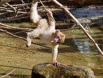 Πίθηκος Berber Στοκ φωτογραφίες με δικαίωμα ελεύθερης χρήσης