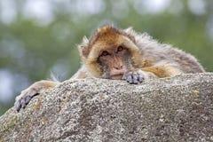 Πίθηκος Berber Στοκ Εικόνες
