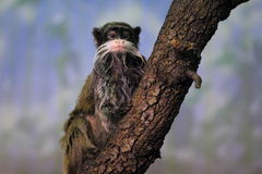 Πίθηκος Brockway Στοκ Εικόνα