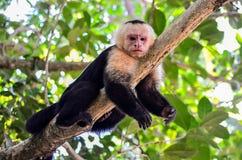 Πίθηκος Cebus Στοκ Φωτογραφίες