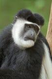 πίθηκος colobus Στοκ φωτογραφίες με δικαίωμα ελεύθερης χρήσης