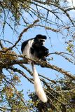 πίθηκος colobus Στοκ εικόνα με δικαίωμα ελεύθερης χρήσης