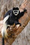 Πίθηκος Colobus. Στοκ Φωτογραφία