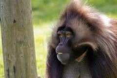 Πίθηκος Gelada Στοκ εικόνα με δικαίωμα ελεύθερης χρήσης