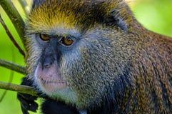Πίθηκος Geunon Lowe Στοκ Εικόνα