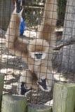 Πίθηκος Gibbon Στοκ εικόνα με δικαίωμα ελεύθερης χρήσης
