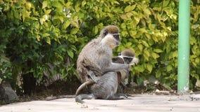 Πίθηκος Grivet και το μωρό της απόθεμα βίντεο