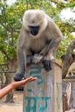 Πίθηκος Langur που παίρνει τα τρόφιμα στο δάσος κοντά στον κριό Jhula στην Ινδία Στοκ Εικόνα