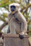Πίθηκος Langur στο δάσος κοντά στον κριό Jhula στην Ινδία Στοκ εικόνες με δικαίωμα ελεύθερης χρήσης