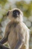 Πίθηκος - langur Στοκ Φωτογραφίες