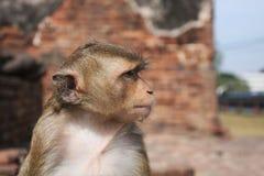 Πίθηκος Lopburi Ταϊλάνδη Στοκ Εικόνες