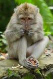 πίθηκος macaca fascicularis Στοκ εικόνα με δικαίωμα ελεύθερης χρήσης
