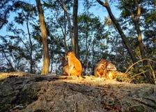 Πίθηκος Macaque ζωντανός στο βουνό Στοκ Εικόνες