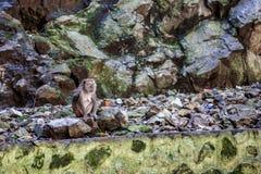 Πίθηκος Macaque Λήφθείτε στις σπηλιές Batu Στοκ Εικόνες