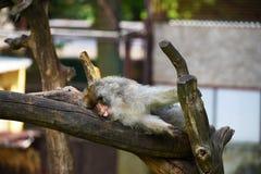 Πίθηκος Macaque που βρίσκεται στην καυτή ημέρα Στοκ Εικόνες