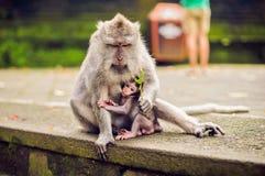 Πίθηκος macaque που εγκαθιστά στην πέτρα Ναός πιθήκων στο Μπαλί Στοκ Φωτογραφία