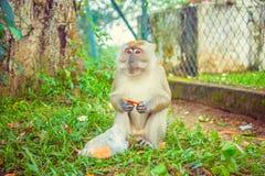 Πίθηκος Macaque που τρώει τα τρόφιμα Στοκ Εικόνα