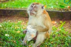 Πίθηκος Macaque που τρώει τα τρόφιμα Στοκ φωτογραφία με δικαίωμα ελεύθερης χρήσης