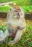 Πίθηκος Macaque που τρώει τα τρόφιμα Στοκ Φωτογραφίες