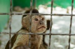 Πίθηκος Macaque σε ένα κλουβί, Στοκ Εικόνες