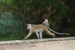 Πίθηκος Macaque στη Σρι Λάνκα Στοκ Φωτογραφία