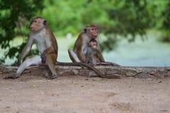 Πίθηκος Macaque στη Σρι Λάνκα Στοκ φωτογραφία με δικαίωμα ελεύθερης χρήσης