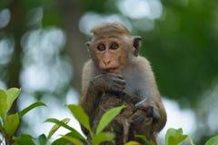 Πίθηκος Macaque στη Σρι Λάνκα Στοκ εικόνες με δικαίωμα ελεύθερης χρήσης