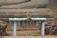 Πίθηκος Macaque στη Σρι Λάνκα Στοκ Εικόνα