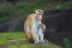 Πίθηκος Macaque στη Σρι Λάνκα Στοκ Εικόνες