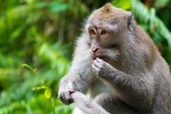 Πίθηκος Macaque στο δάσος πιθήκων, Μπαλί Στοκ Φωτογραφία