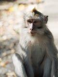 Πίθηκος Macaque στο Μπαλί Στοκ Εικόνες